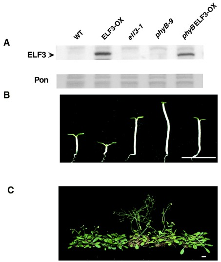 Image from ELF3 encodes a circadian clock-regulated nuclear protein that functions in an Arabidopsis PHYB signal transduction pathway