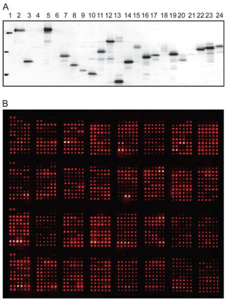 Image from The development of protein microarrays and their applications in DNA-protein and protein-protein interaction analyses of Arabidopsis transcription factors