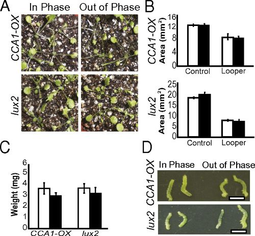 Image from Arabidopsis synchronizes jasmonate-mediated defense with insect circadian behavior