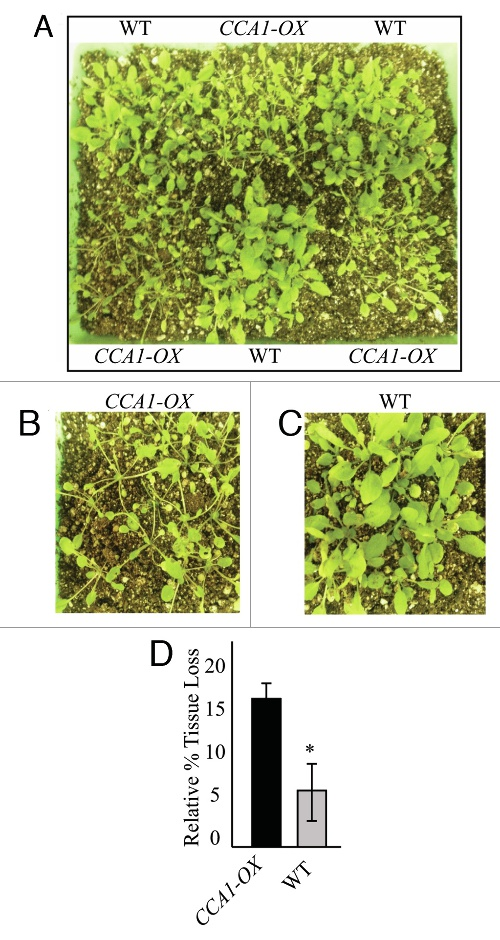 Image from Circadian control of jasmonates and salicylates: The clock role in plant defense