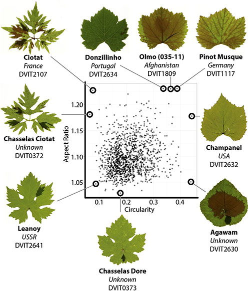 Image from A modern ampelography: a genetic basis for leaf shape and venation patterning in grape